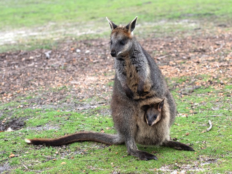 Swamp wallaby with joey in her pouch
