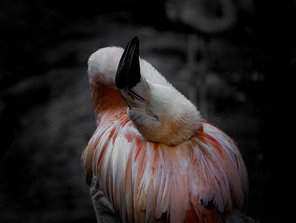 Flamingo cuddling up thumbnail