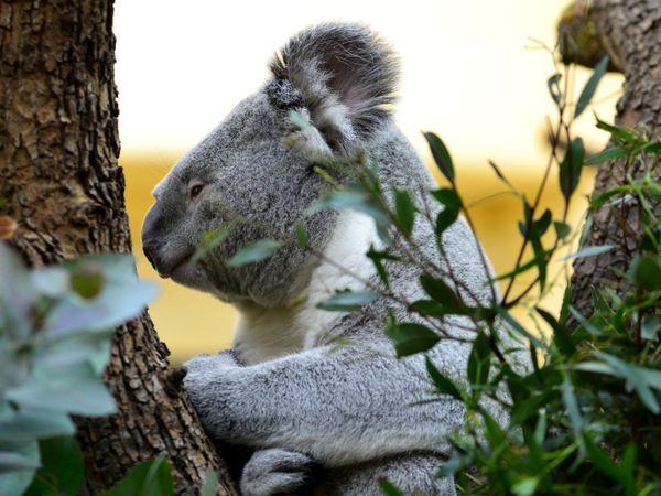 Koala at tree in Vienna zoo thumbnail