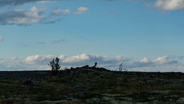 Bird silhouette in alpine tundra thumbnail