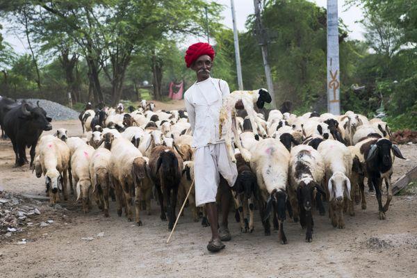 Rajasthani Sheperd thumbnail