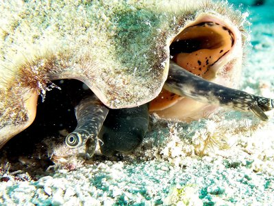 """These comical looking mollusks are common to the Caribbean. Their eyes poke out on stalks from inside large, pink, beautiful shells, and they move along one """"step"""" at a time, with a lift and a flop, leaving tracks behind in the sand."""