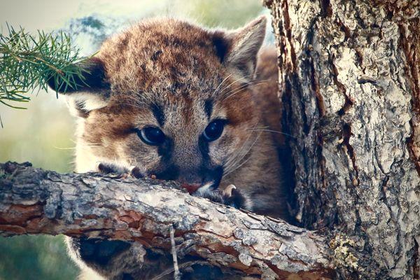 Wild Cougar Kitten thumbnail