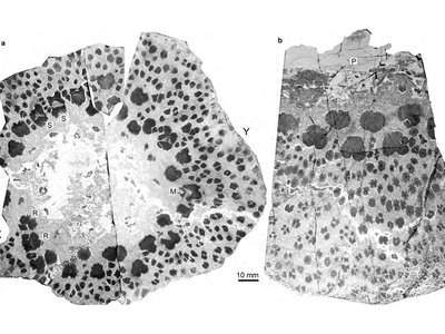A cross-section of the fossilised cladoxylopsid found in Xinjiang, China.