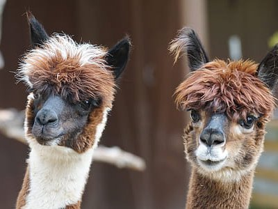 Llamas, alpacas and other camelids produce a special kind of antibody called nanobodies, which may be used to treat and prevent the spread of COVID-19.