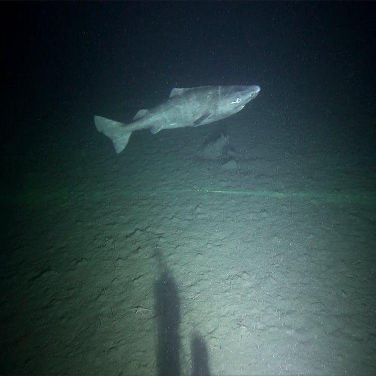 The World's Most Ancient, Elusive Sharks Were Finally Caught on Video