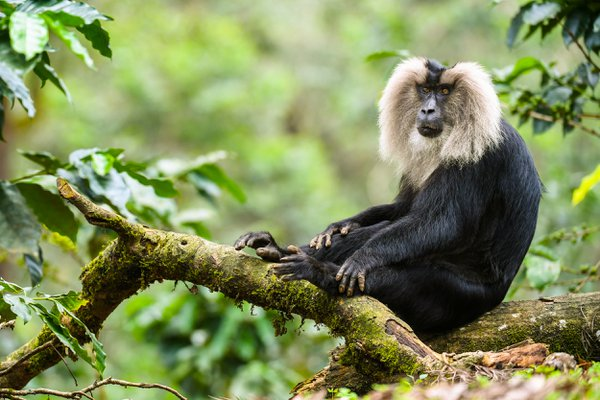 Lion Tailed Macaque, Posing thumbnail