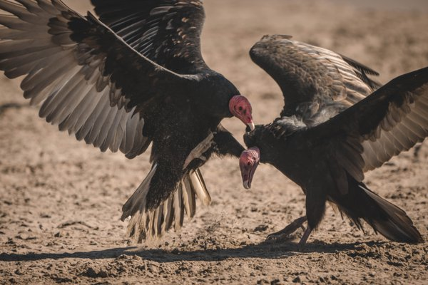 the fight of the vultures thumbnail