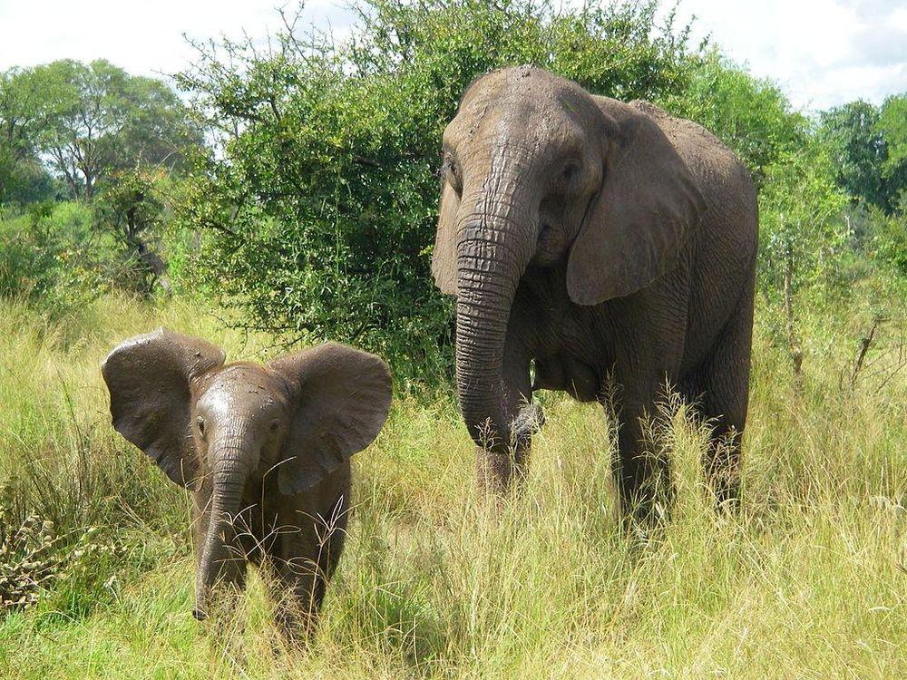 infant elephants