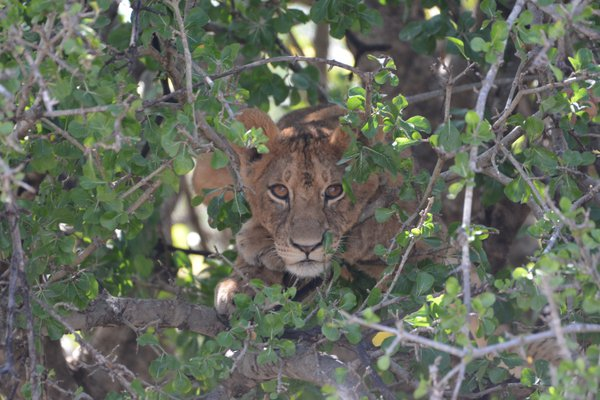 A young Lioness in a tree in the Serengeti thumbnail