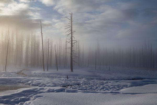 Bobby socks trees along Madison Valley, Yellowstone thumbnail