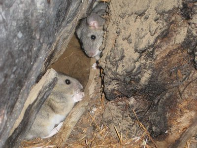 Pack rats near their nest, or midden, in the City of Rocks National Reserve in Idaho.