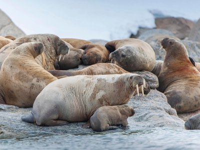 Mother walruses like this one on a waterfront near Svalbard, Norway, are very protective of their young.