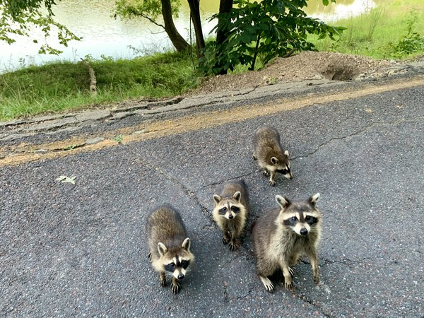 Raccoons at Lone Elk Park MO thumbnail