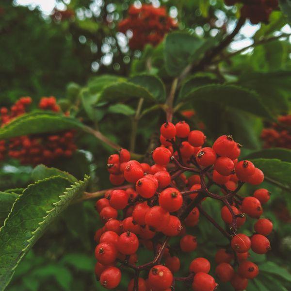 Rowanberry  thumbnail