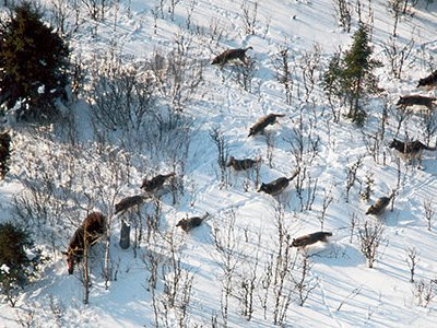Wolves hunting moose on Isle Royale are a dramatic example of what scientists call co-evolution:two species, such as a predator and its prey, adapting to each other's adaptations.