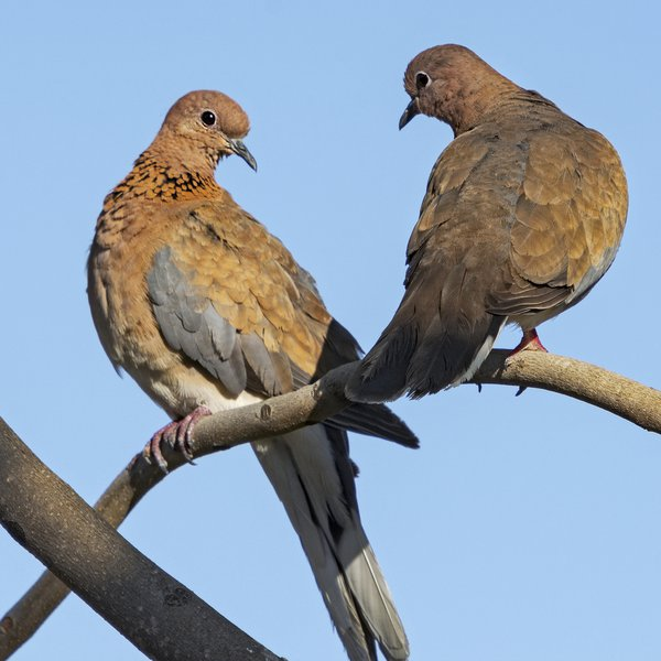 Mated Pair of Laughing Doves thumbnail