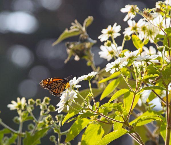 Monarchs  thumbnail
