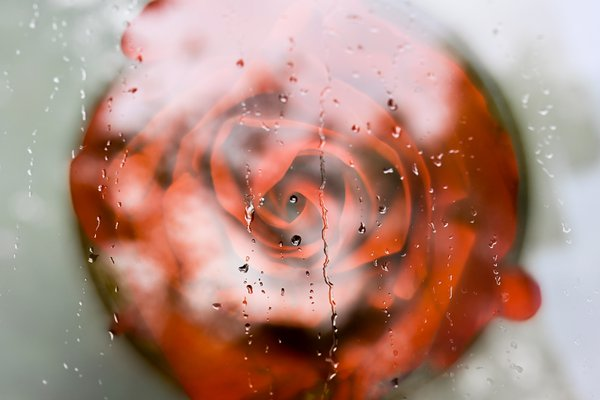 Crying Rose thumbnail