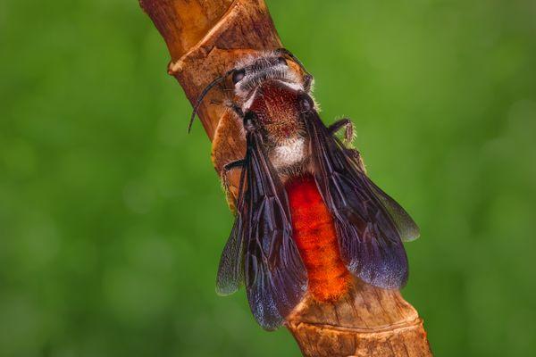 Scoliidae thumbnail