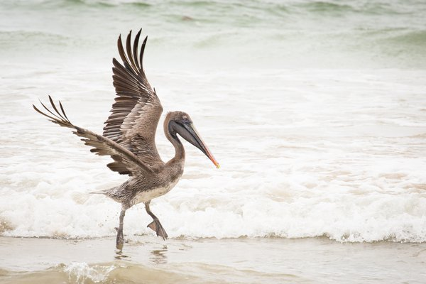 Pelican dancing along beach thumbnail
