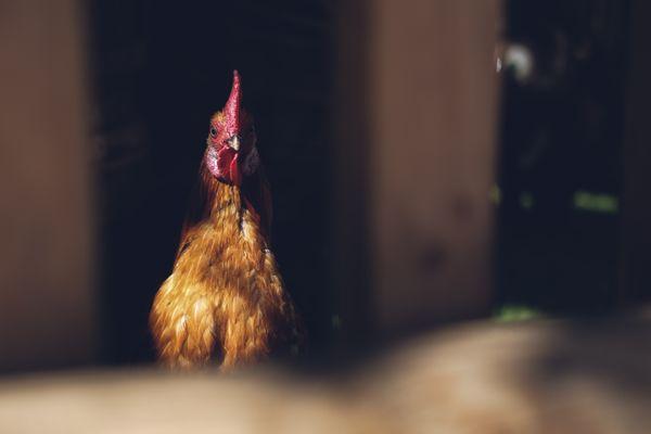 A chicken thumbnail
