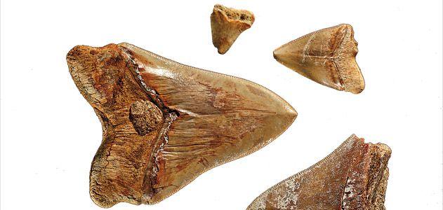 megalodon teeth