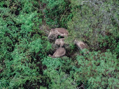 An aerial photo taken on June 5, 2021 shows the herd of Asian elephants in the Jinning District of Kunming, a populous city located in southwest China's Yunnan Province.