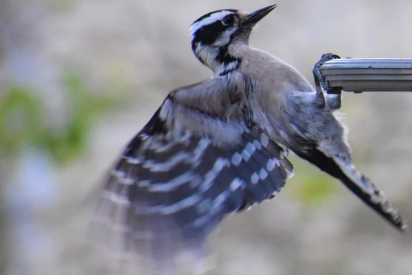 Downy Woodpecker flying to the feeder thumbnail