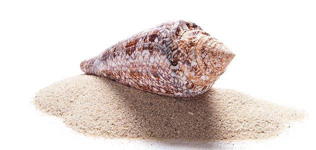 Conus gloriamaris shell