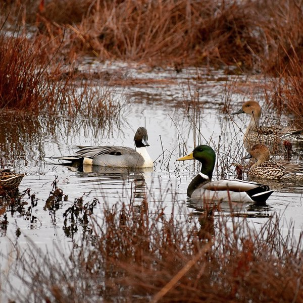 Pintail and mallard drake thumbnail