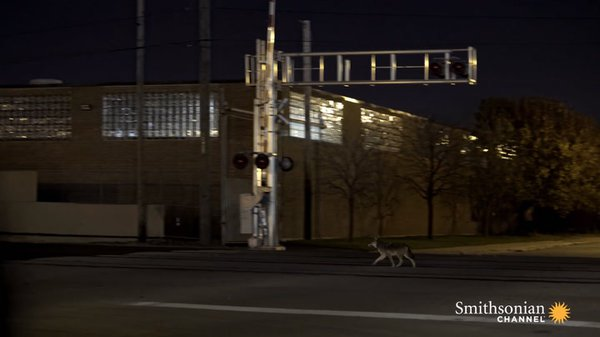 Preview thumbnail for Chicago's Urban Coyotes Are Fascinating Scientists