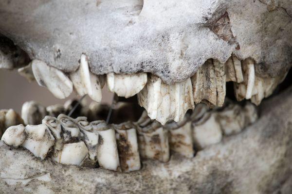 muskox skull in alaska thumbnail