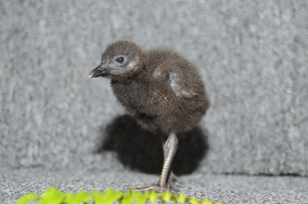 A 13-day old small, flightless bird (called a Guam rail) with fluffy, black down feathers and long legs.