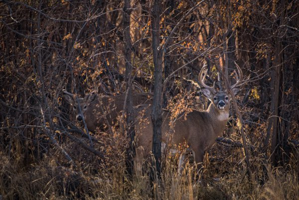 Mule Deer in the fall thumbnail