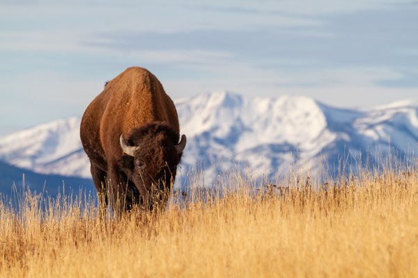 Bison poses nicely in front of the mountains in Yellowstone National Park.