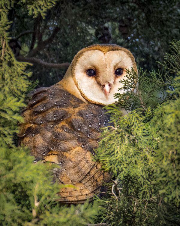 Barn Owl  thumbnail