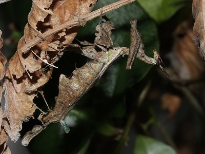 A female dragon mantis with her forked pheromone gland protruding from her rear abdomen.