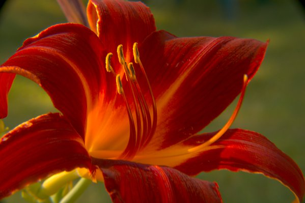 Red lily stamen close-up. thumbnail