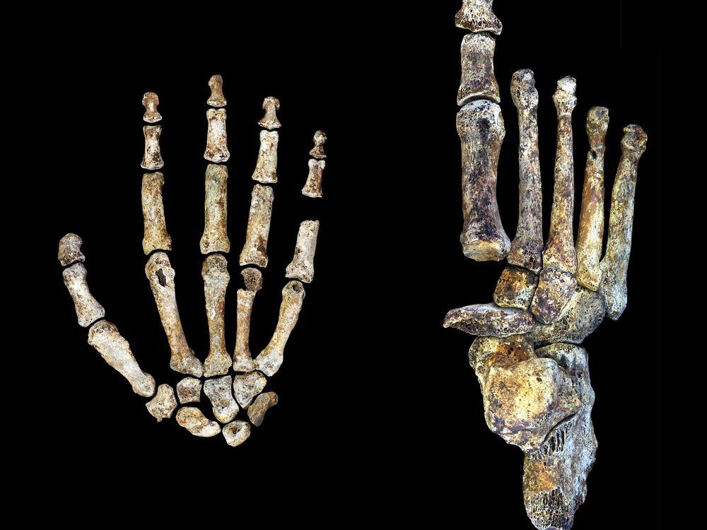 Homo naledi hand foot