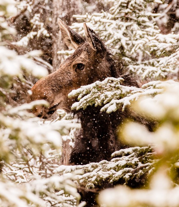 A moose in a snowstorm thumbnail
