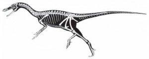 20110520083205Haplocheirus-skeleton-300x119.jpg