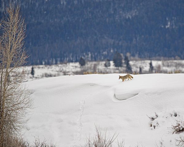 Coyote in Snow thumbnail
