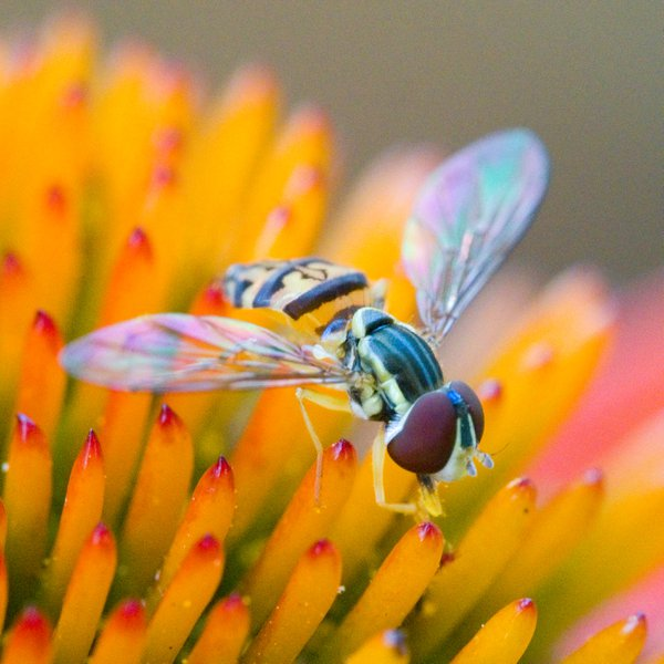 Hoverfly At Lunch thumbnail