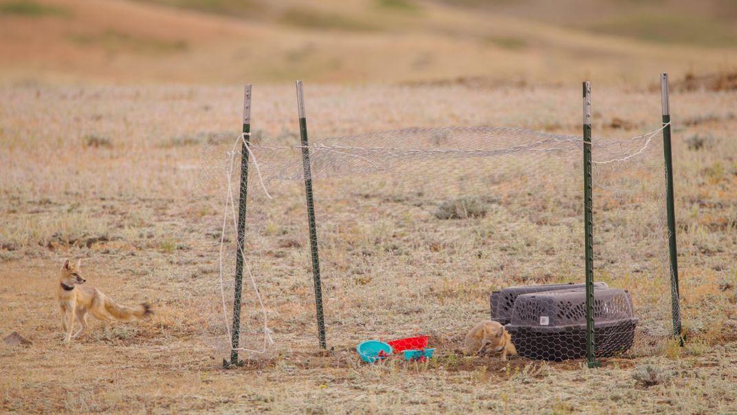 Tribes Reintroduce Swift Fox to Northern Montana's Fort Belknap Reservation