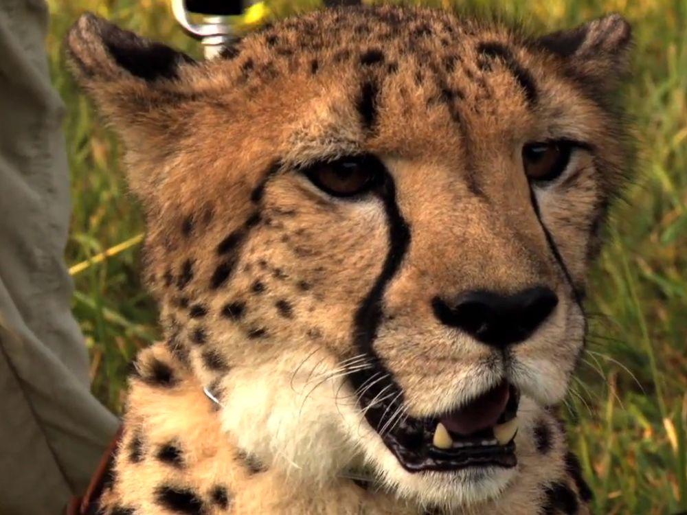 2012102610201910_26_2012_cheetah-filming.jpg
