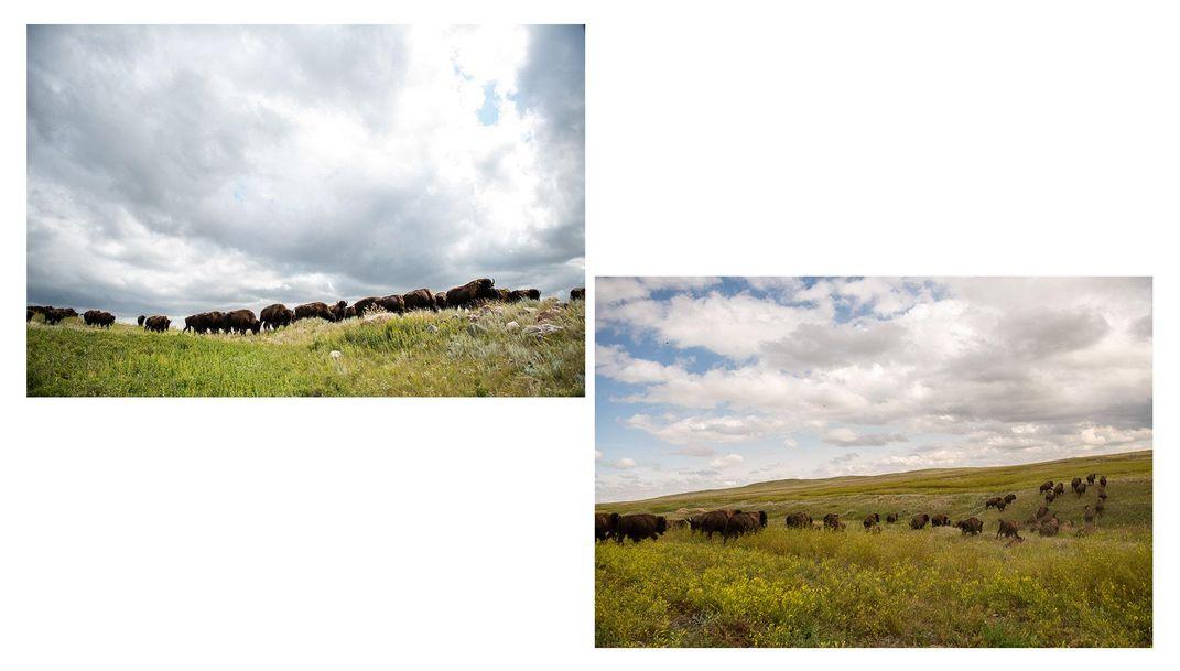 A herd of Fort Peck buffalo graze under the Montana sky
