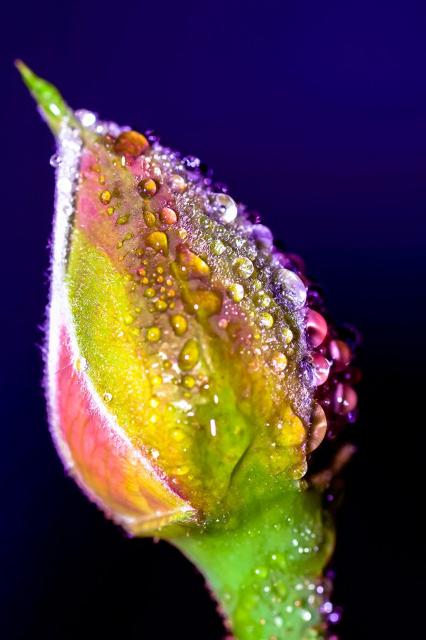 Water drops on a rose bud thumbnail