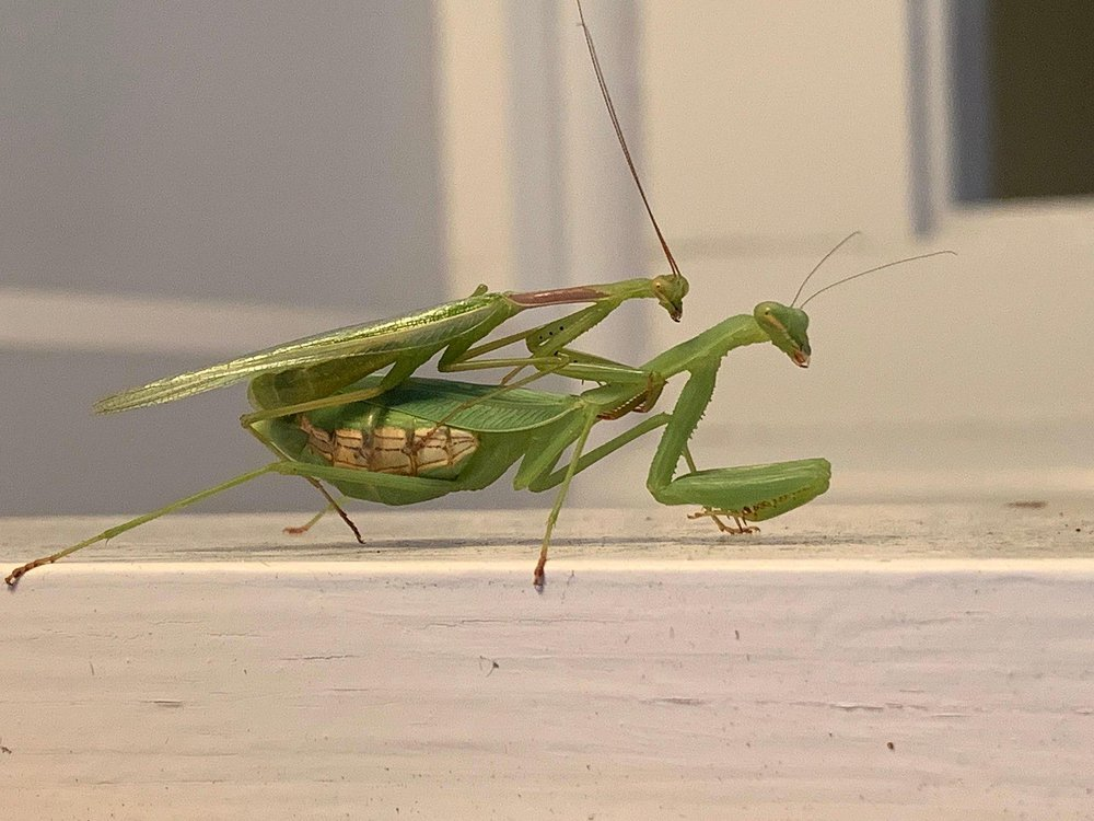 Two Springbok mantises mating on a window sill