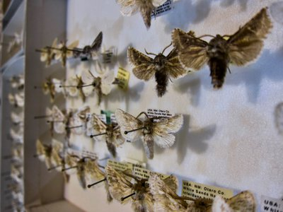 Most White Sands moths are white to blend in with their environment, but a select few black species have evolved as well.